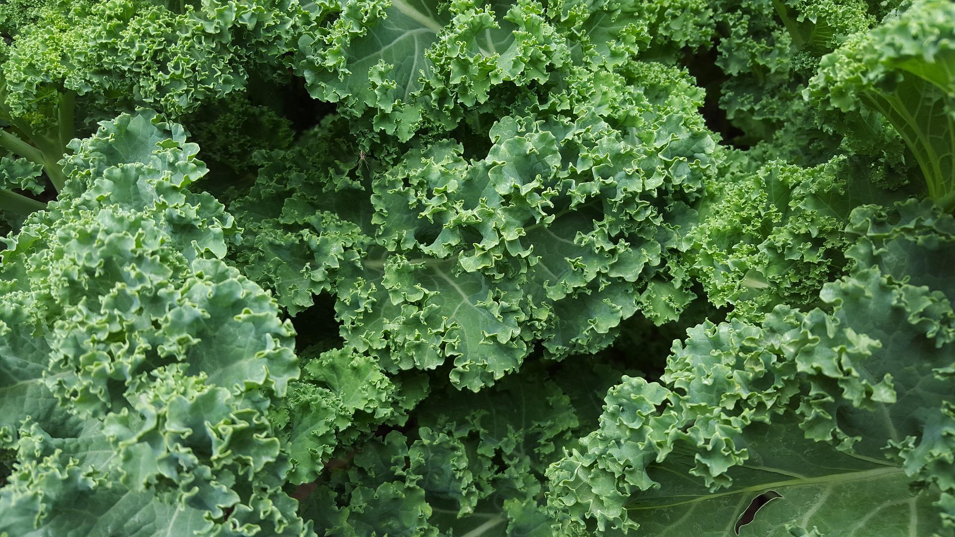 gesunder Grünkohl