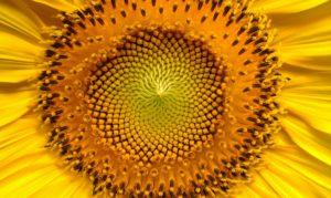 Sonnenblumenkerne: Sonnenblume