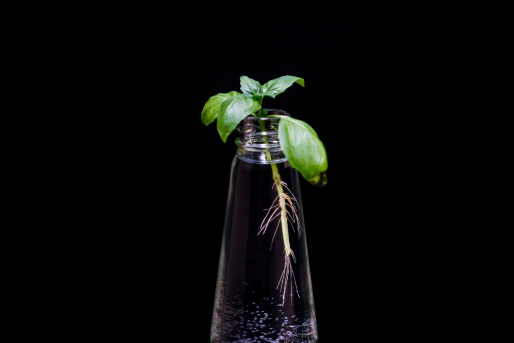 Regrowing: Ein Steckling einer Basilikumpflanze in einer Wasserflasche