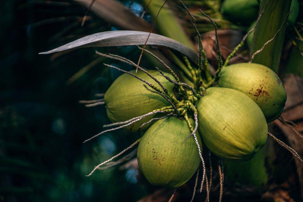 Kokosnüsse in grüner Außenhaut an einer Kokospalme