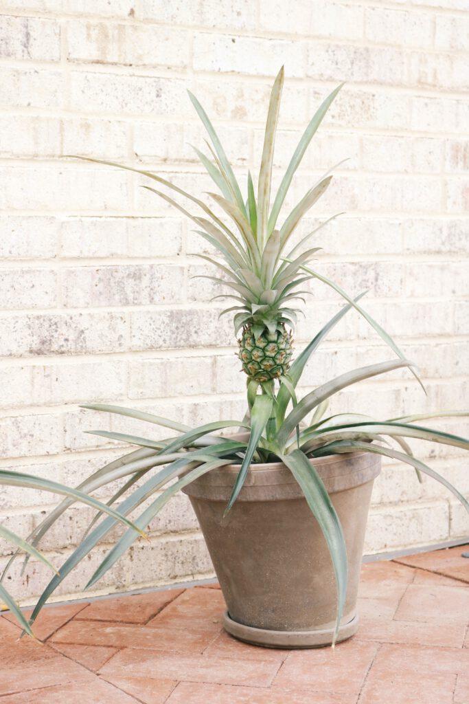 Regrowing: Eine Ananaspflanze in einem Tontopf