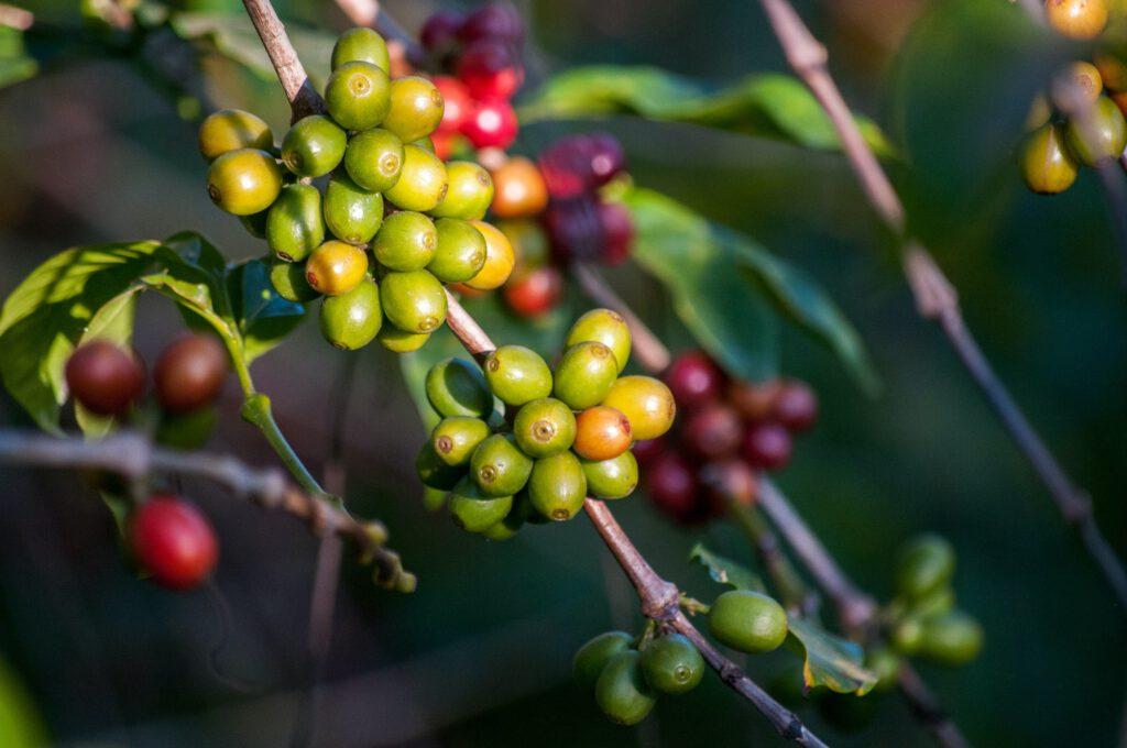 Ein Ast mit grünen, gelben und roten Kaffeekirschen